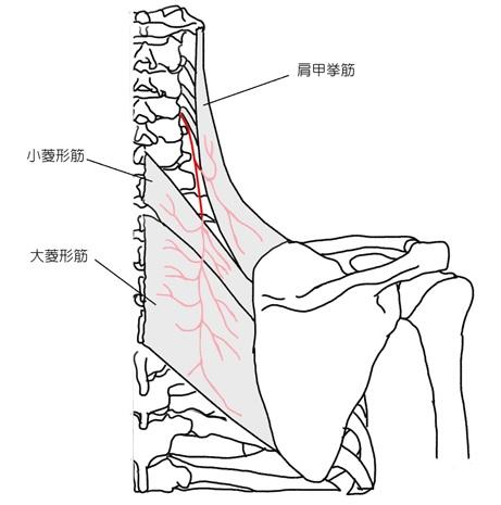 肩甲背神経