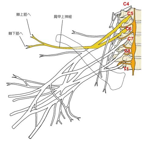 頚椎~肩甲上神経