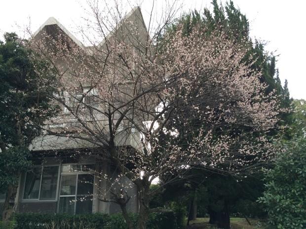 長崎大学の梅